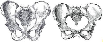 male versus female pelvis | dancehealthier